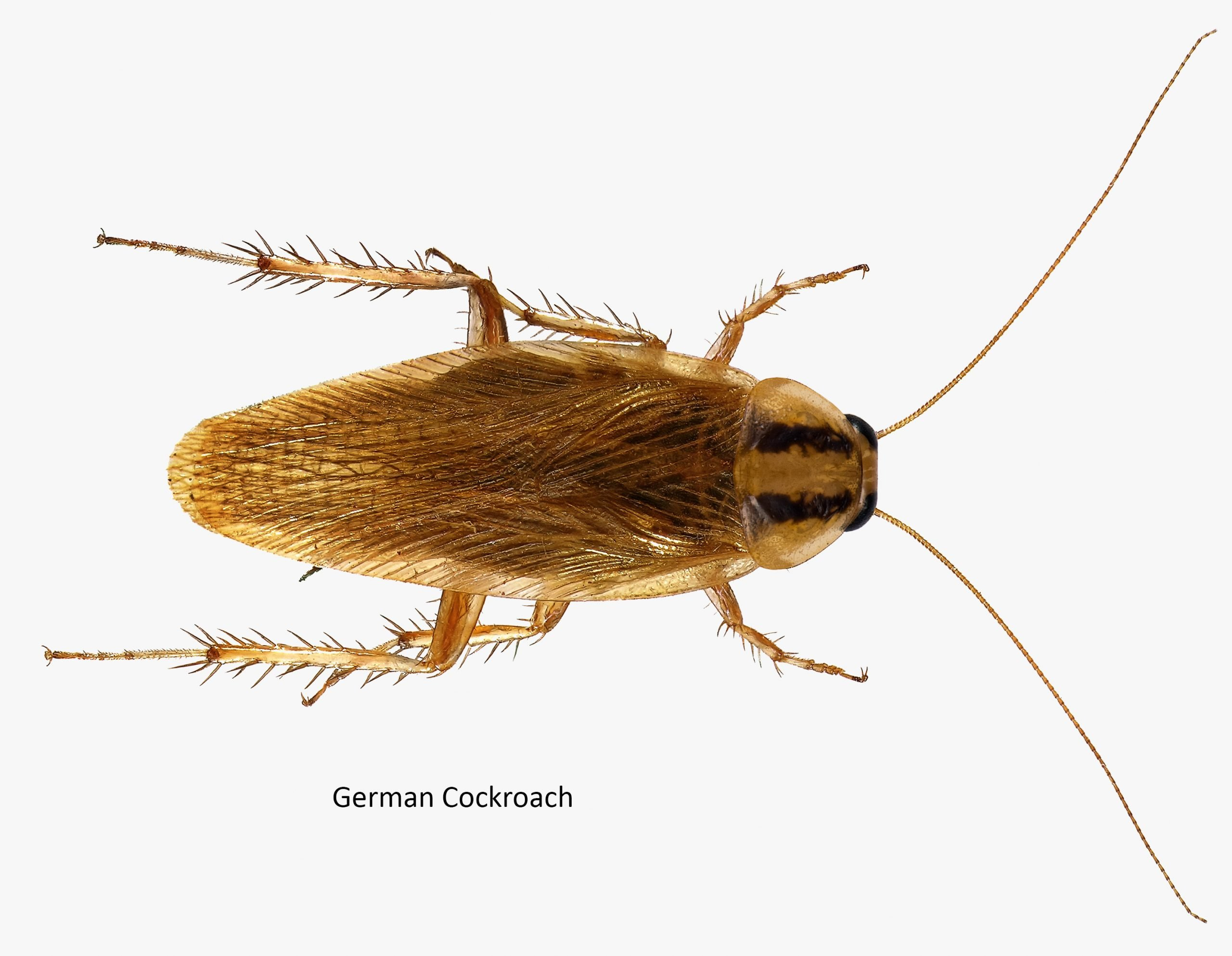 German cockroach (Blattella germanica)
